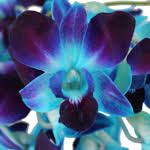 blue orchid flower tie dye dendrobium orchids express delivery