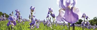 iris weleda uk