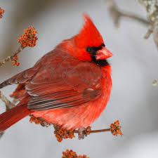 cardinal national geographic