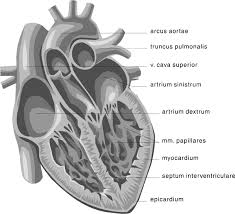 Diagram Heart Anatomy Heart Medical Diagram 2 Medical Anatomy Heart