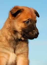 belgian malinois puppies for sale 2016 belgian malinois puppies for sale in arizona