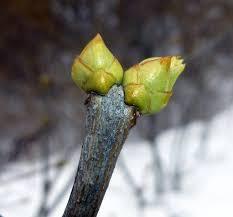 powdery goldspeck lichen new hampshire garden solutions