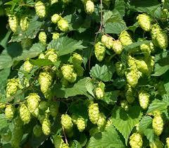 hops bine nugget plants for brewing de groot inc