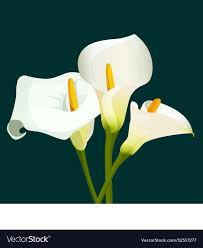 cala lillies bouquet of white calla lilies on green vector image