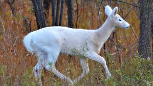 white deer understanding a common animal of uncommon color u2013 cool