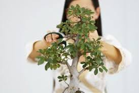 The Steps to Prune the Perfect Jade Bonsai Home Guides