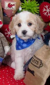bichon frise kennels 58 best cavachon images on pinterest puppies farms and html