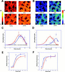 radiation induced cytochrome c release causes loss of rat colonic