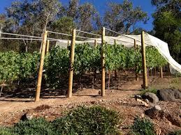 Backyard Vineyard Design by Setting Up A Backyard Vineyard Bean There Dug Thatbean There Dug