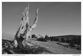 black and white picture photo barren slopes and dead bristlecone