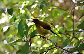 native nz plants bellbird korimako new zealand native land birds