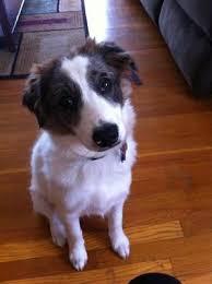 australian shepherd 5 months weight 65 best australian sheagle images on pinterest beagle mix