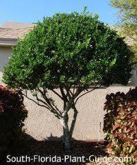 jatropha tree jatropha integerrima the of the jatropha tree
