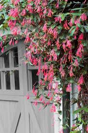 31 best the best perennial and annual vines for your garden images