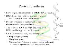Dna Rna And Protein Synthesis Worksheet Cell Cycle Dna And Protein Synthesis Notes