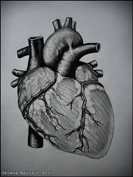 drawn birdcage human heart anatomy pencil and in color drawn