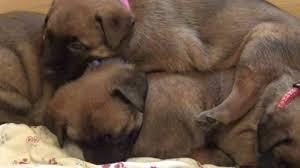belgian malinois breeder california belgian malinois puppies for sale in natick ma