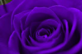 purple roses purple wallpaper wallpapers browse