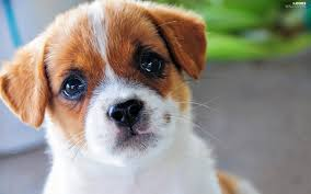 Dog Wallpapers Puppy Jack Russell Terrier Dog Dogs Wallpapers 1920x1200
