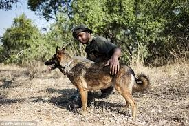 belgian shepherd rescue south africa meet south africa u0027s most successful poacher catching dog killer