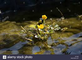 australian native aquatic plants marginal plant stock photos u0026 marginal plant stock images alamy