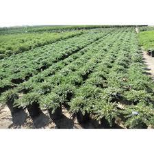 australian native ground cover plants myoporum parvifolium u0027white u0027 u0027prostratum u0027 ground covers