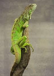 imágenes de iguanas verdes alimentos para las iguanas verdes como mascotas mascotapedia