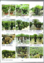 cycas revoluta outdoor landscaping trees plants sago palm tree nursery