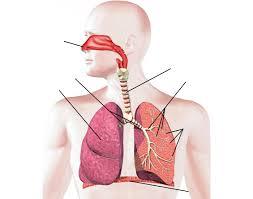 Human Anatomy Respiratory System Respiratory System Labeling Interactive