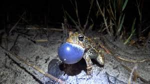 a few of florida u0027s frogs and toads youtube