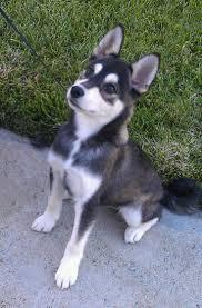 american eskimo dog small best 20 miniature dog breeds ideas on pinterest miniature dogs