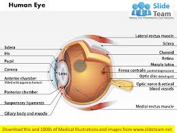 Eye Anatomy And Physiology Anatomy Of Human Eye Medical Images For Power Point