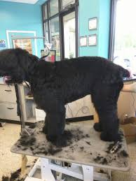 bedlington terrier shaved black russian terrier