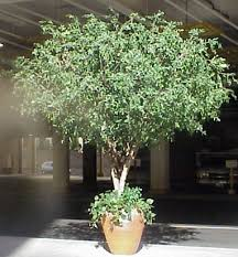 pittosporum tree 10ft jpg