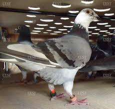cuisine des pigeons voyageurs edition de besançon le tour de des pigeons de course fera