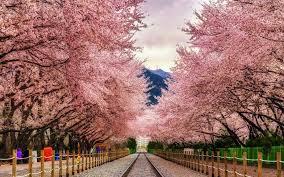 cherry blossom pics fly to south korea for cherry blossom season for 445 round trip