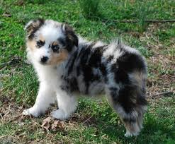 australian shepherd mini puppy 614 best australian shepherd images on pinterest animals
