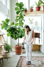 Fiddle Leaf Fig Tree Care by Fig Tree Indoor How To Care For Your Fiddle Leaf Fig Gardening Guide
