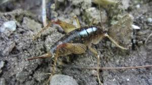 cave crickets what they are and what you can do about them