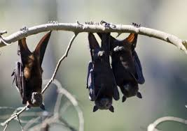 small bat small bats squeak at higher pitch to focus better study reports
