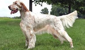 types of setter dog breeds english setter breed information