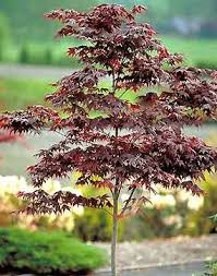 japanese maples exles from pond and garden nursery