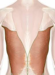 Muscle Anatomy Of Shoulder Latissimus Dorsi Muscle Shoulder