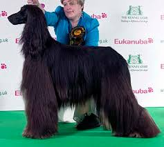 afghan hound group dfs crufts 2011 results