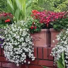 balkon grã npflanzen balkonpflanzen pflege standort winterhart überwintern gießen düngen