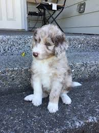 4 week old australian shepherd the 7 puppy stages aussiedoodle and labradoodle puppies best