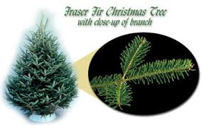 fraser fir christmas tree common christmas trees grown in minnesota