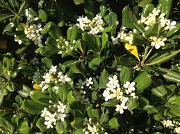 Fragrant Plants What Is This Bush With Fragrant White Flowers Snaplant Com