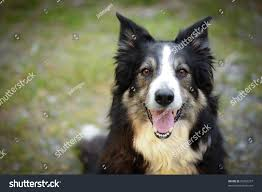 belgian shepherd or border collie full face image tricolored border collie stock photo 96282257