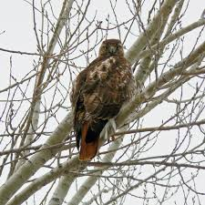 wild maryland 101 md birds of prey red tailed hawk buteo
